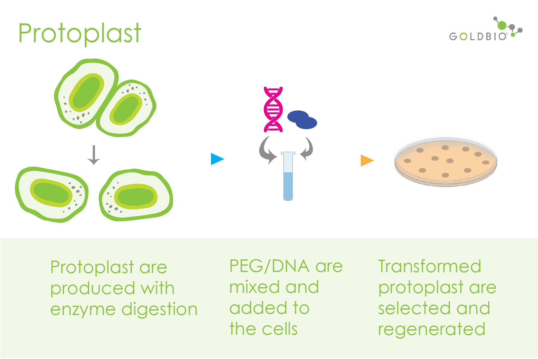 protoplast-mediated transformation process - shows the creation of protoplast cells or naket cells, adding dna into the cells and regeneration