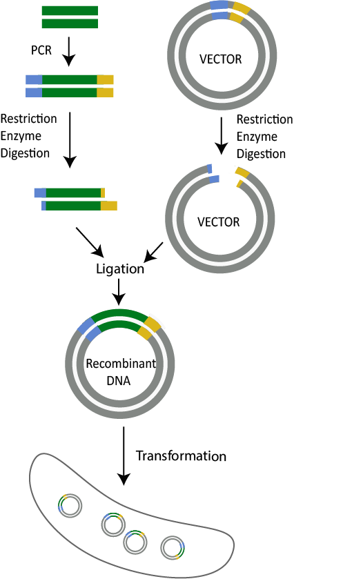 Restriction Enzyme Cloning, Cloning - illustration of what restriction enzymes do and how they work in molecular cloning and recombinant DNA technology