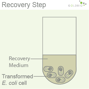 Competent Cell Preparation Step 3: The recovery step: the cells are incubated in a recovery medium to restore the cell membrane and the cell wall.