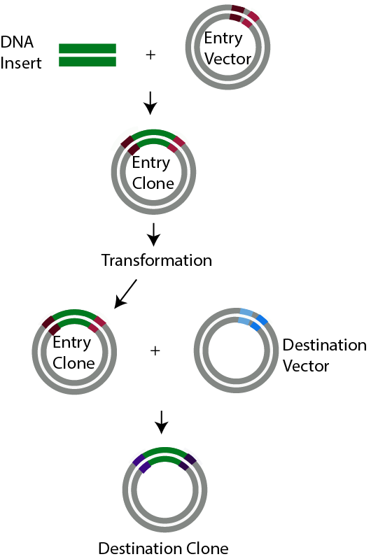 Illustration of how Recombinational Cloning works in molecular cloning and transformation