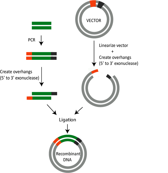 How Seamless Cloning works illustration - very small sequences are added to the 5' end of the primer. The vector is then digested by a restriction enzyme...