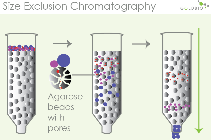 how size exclusion chromatography works to separate out target proteins within a column using agarose beads/resins