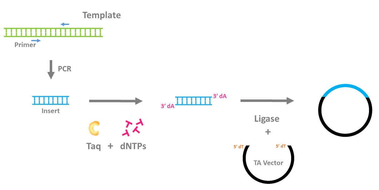 So Many DNA Polymerases, So Little Time | GoldBio