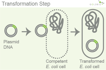 Competent Cell Preparation Step 2: The transformation step: the transformation step is performed to allow DNA (usually plasmid DNA) to enter the cell. The most common transformation methods are electroporation or heat shock transformation.