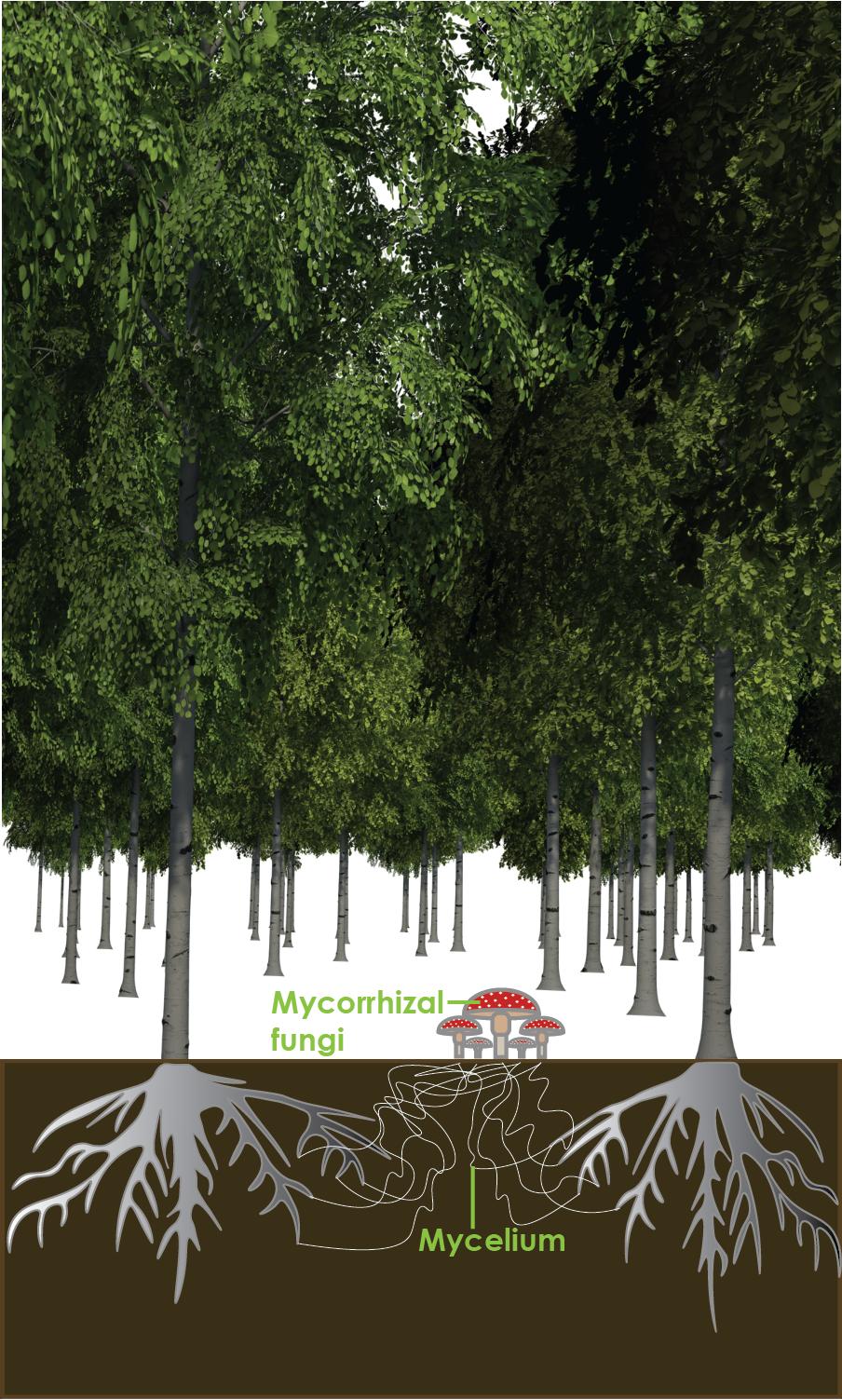 Wood wide web, mycorrhizal fungi