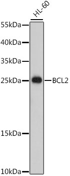 BCL2 Polyclonal Antibody Western Blot, BCL2 Antibody Western Blot, BCL2 Western Blot, BCL2 Rabbit pAb Western Blot