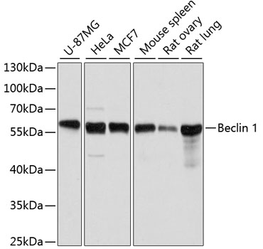 Beclin 1 Polyclonal Antibody Western Blot, Beclin 1 Antibody Western Blot, Beclin 1 Western Blot, Beclin 1 Rabbit pAb Western Blot
