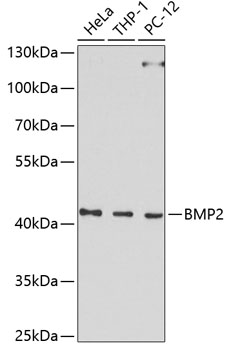 BMP2Polyclonal Antibody Western Blot, BMP2Antibody Western Blot, BMP2Western Blot, BMP2Rabbit pAb Western Blot