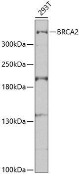 BRCA2 Polyclonal Antibody Western Blot, BRCA2 Antibody Western Blot, BRCA2 Western Blot, BRCA2 Rabbit pAb Western Blot