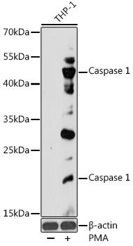Caspase 1 Polyclonal Antibody Western Blot, Caspase 1 Antibody Western Blot, Caspase 1 Western Blot, Caspase 1 Rabbit pAb Western Blot