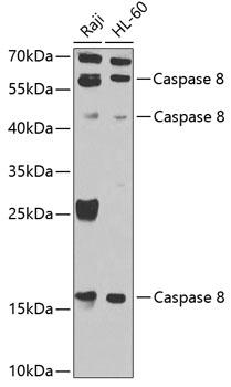 Caspase 8 Polyclonal Antibody Western Blot, Caspase 8 Antibody Western Blot, Caspase 8 Western Blot, Caspase 8 Rabbit pAb Western Blot
