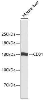 CD31 Polyclonal Antibody Western Blot, CD31 Antibody Western Blot, CD31 Western Blot, CD31 Rabbit pAb Western Blot