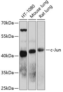 c-Jun Polyclonal Antibody Western Blot, c-Jun Antibody Western Blot, c-Jun Western Blot, c-Jun Rabbit pAb Western Blot