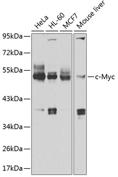 c-Myc Polyclonal Antibody Western Blot, c-Myc Antibody Western Blot, c-Myc Western Blot, c-Myc Rabbit pAb Western Blot