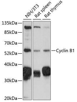Cyclin B1 Polyclonal Antibody Western Blot, Cyclin B1 Antibody Western Blot, Cyclin B1 Western Blot, Cyclin B1 Rabbit pAb Western Blot
