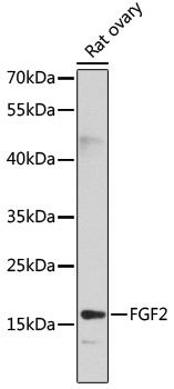 FGF2 Polyclonal Antibody Western Blot, FGF2 Antibody Western Blot, FGF2 Western Blot, FGF2 Rabbit pAb Western Blot