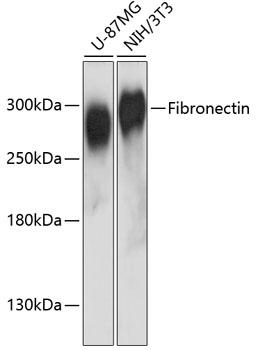 Fibronectin Polyclonal Antibody Western Blot, Fibronectin Antibody Western Blot, Fibronectin Western Blot, Fibronectin Rabbit pAb Western Blot