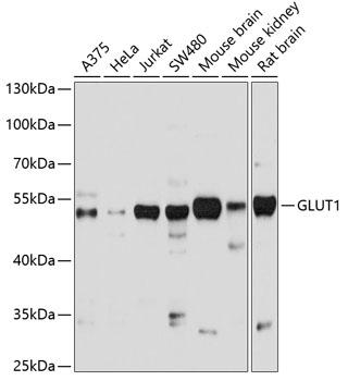 GLUT1 Polyclonal Antibody Western Blot, GLUT1 Antibody Western Blot, GLUT1 Western Blot, GLUT1 Rabbit pAb Western Blot