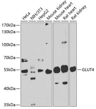 GLUT4 Polyclonal Antibody Western Blot, GLUT4 Antibody Western Blot, GLUT4 Western Blot, GLUT4 Rabbit pAb Western Blot