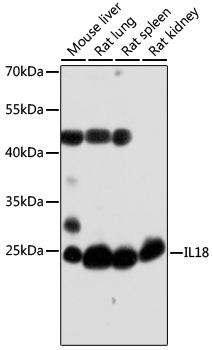 IL18 Polyclonal Antibody Western Blot, IL18 Antibody Western Blot, IL18 Western Blot, IL18 Rabbit pAb Western Blot