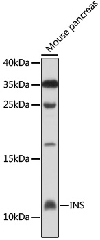 INS Polyclonal Antibody Western Blot, INS Antibody Western Blot, INS Western Blot, INS Rabbit pAb Western Blot