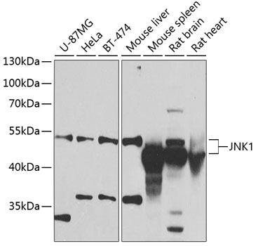 JNK1 Polyclonal Antibody Western Blot, JNK1 Antibody Western Blot, JNK1 Western Blot, JNK1 Rabbit pAb Western Blot