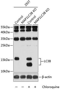 LC3B Polyclonal Antibody Western Blot, LC3B Antibody Western Blot, LC3B Western Blot, LC3B Rabbit pAb Western Blot