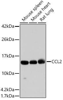 MCP-1 Polyclonal Antibody Western Blot, MCP-1 Antibody Western Blot, MCP-1 Western Blot, MCP-1 Rabbit pAb Western Blot