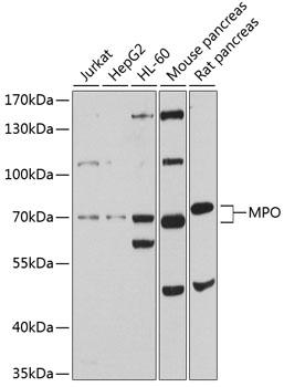 MPO Polyclonal Antibody Western Blot, MPO Antibody Western Blot, MPO Western Blot, MPO Rabbit pAb Western Blot