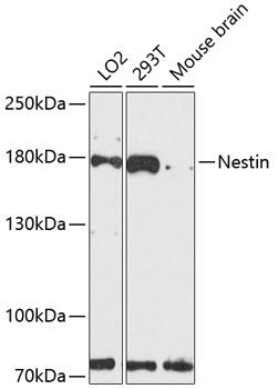 Nestin Polyclonal Antibody Western Blot, Nestin Antibody Western Blot, Nestin Western Blot, Nestin Rabbit pAb Western Blot