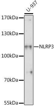 NLRP3 Polyclonal Antibody Western Blot, NLRP3 Antibody Western Blot, NLRP3 Western Blot, NLRP3 Rabbit pAb Western Blot
