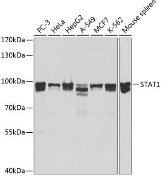 STAT1 Polyclonal Antibody Western Blot, STAT1 Antibody Western Blot, STAT1 Western Blot, STAT1 Rabbit pAb Western Blot