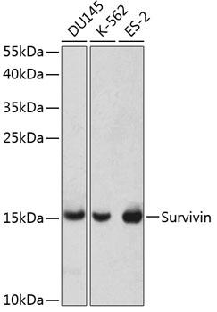 Survivin Polyclonal Antibody Western Blot, Survivin Antibody Western Blot, Survivin Western Blot, Survivin Rabbit pAb Western Blot