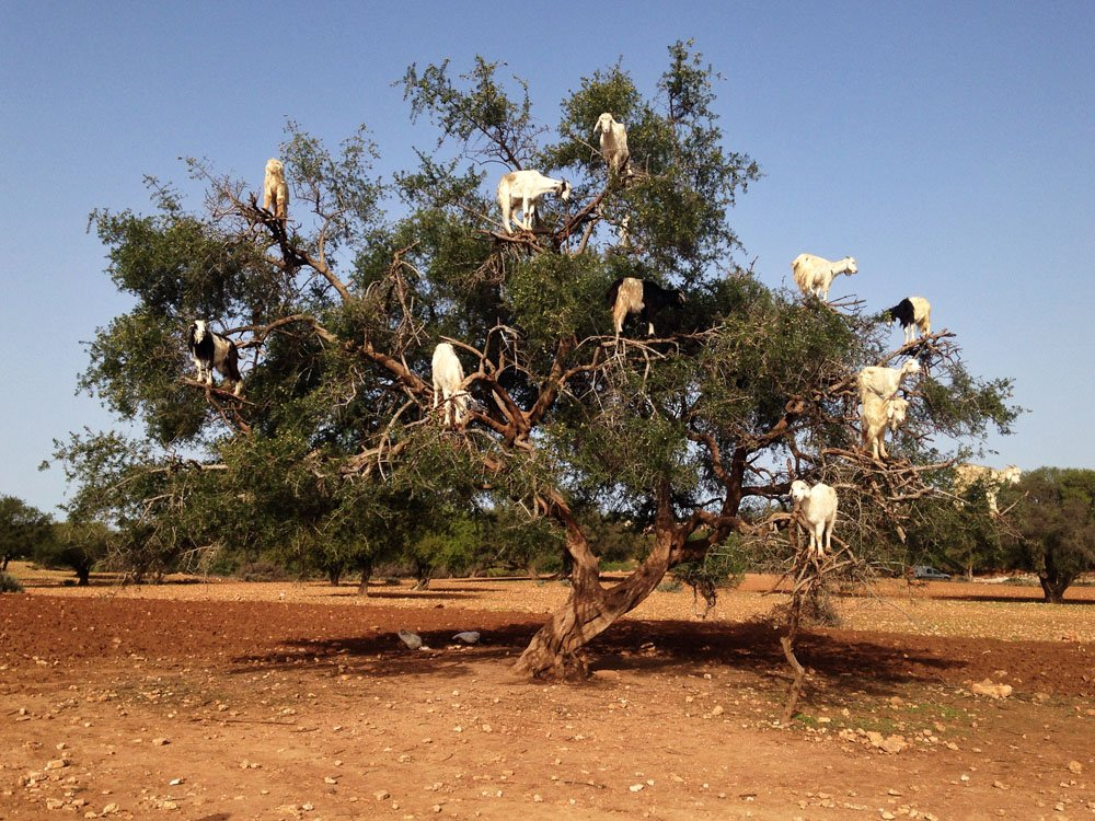 goats-on-trees.jpg