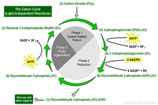 Calvin Cycle ( Read ) | Biology | CK-12 Foundation