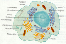 Dna Structure And Replication Read Biology Ck 12 Foundation