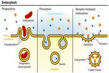 Exocytosis and Endocytosis ( Read ) | Biology | CK-12 Foundation
