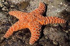 Importance of Echinoderms