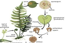 Life Cycle of Seedless Vascular Plants