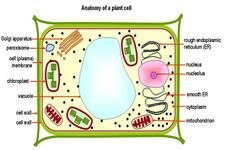 Plant Cell Structures ( Read ) | Life Science | CK-12 Foundation