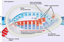 Transcription of DNA to RNA ( Read ) | Biology | CK-12 Foundation