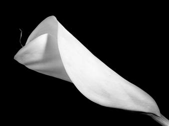 Gianluca Pollini - Calla #3 Photograph on Fine Art Paper, Photography