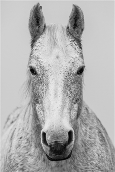 Marshall Gould - Horse Avedon Digital on Fine Art Paper, Photography