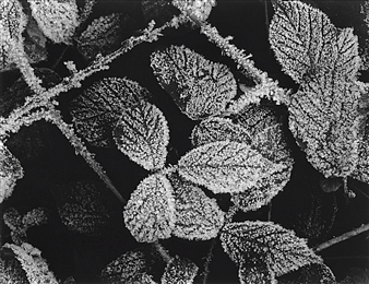 Antonio Biagiotti - Leaves and Hoarfrost Photographic Print on Board, Photography