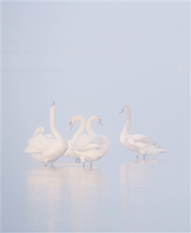 Jeffrey Groeneweg - Swans Photographic Print on Aluminium Dibond, Photography