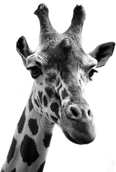 Gianluca Pollini - Giraffa Photograph on Fine Art Paper, Photography