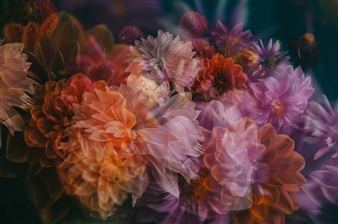 Heather Bragman - Finding Truth, Dahlias Photograph on Hahnemühle Paper, Photography