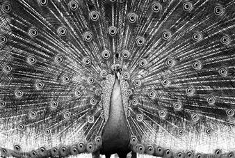 Gianluca Pollini - Peacock Photograph on Fine Art Paper, Photography