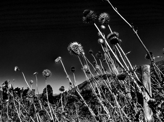Gonzalo Urrea Correa - Girasoles Black & White Digital Photography on Hahnemuhle Cotton Paper, Photography