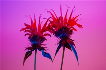 Heather Bragman - Color Pop Series, Bee Balm Photograph on Hahnemühle Paper, Photography